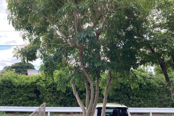 庭木カット
